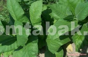 26 Silk Leaf